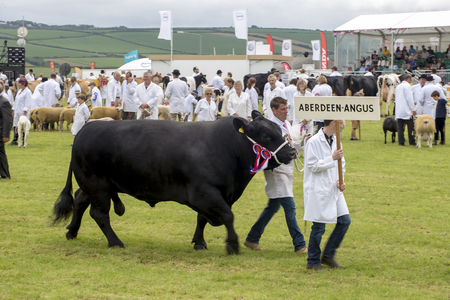 winning stock: Wadebridge, Cornwall, UK, June 11 2016 - Showing cattle and livestock at a local show on a sunny day in a grass field