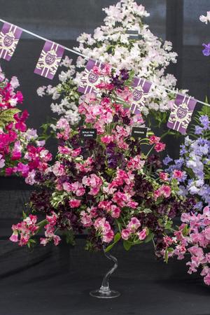 vulva: Wadebridge, Cornwall, UK, June 11 2016 - Sweet pees at a flower display
