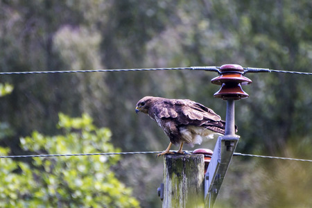 Showing a buzzard in the wild during a cloudy day