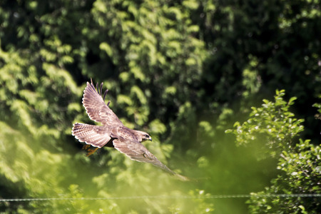 zopilote: Showing a buzzard in the wild during a cloudy day