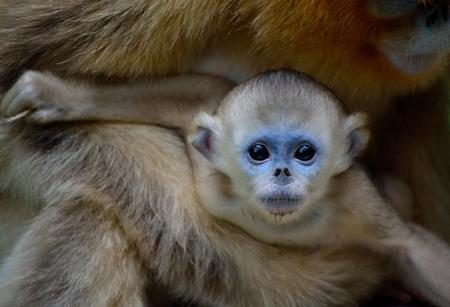 Baby Golden Snub-nosed Monkey Reklamní fotografie