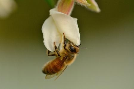 Honey bee feeding on tagasaste flower