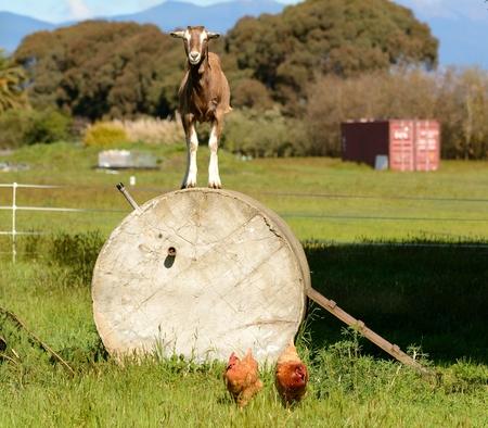 Goat on Wheel