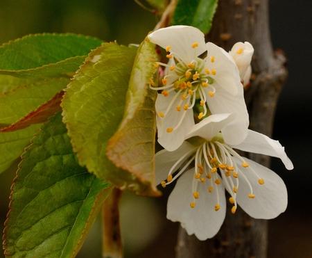 Flowering Lapins Cherry Tree