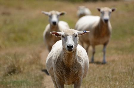 Sheep Reklamní fotografie - 92184258