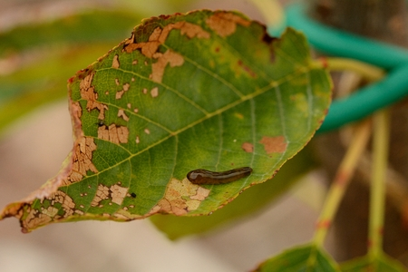 Cherry Slug Larva Reklamní fotografie