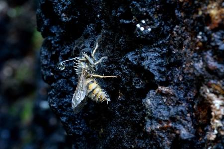 Cordyceps tuberculata and Common Wasp Reklamní fotografie