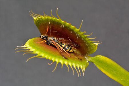 Paper Wasp Caught by Venus Fly Trap Reklamní fotografie