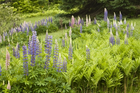 lupines: Field of Lupines