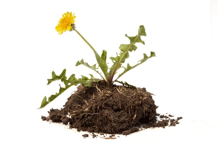 A single dandelion weed and flower with root ball and dirt sit against a white background