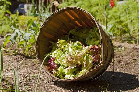 A basket of fresh cut organic lettuce sitting in a garden plot.