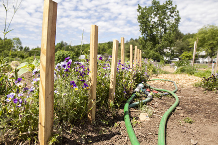 A public community garden with a garden path and plants and a watering hose on a beautiful summer day.