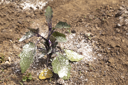A garden vegetable plant is covered with white dusty pesticide or fungicide to keep off bugs. Stock Photo