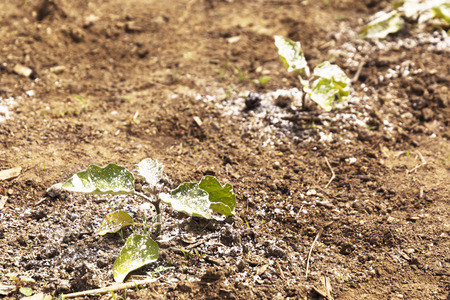 A garden vegetable plant is covered with white dusty pesticide or fungicide to keep off bugs. Banco de Imagens