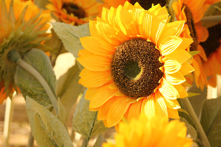 close up view of Large sunflowers Stock Photo
