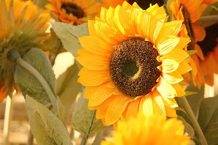 close up view of Large sunflowers Foto de archivo