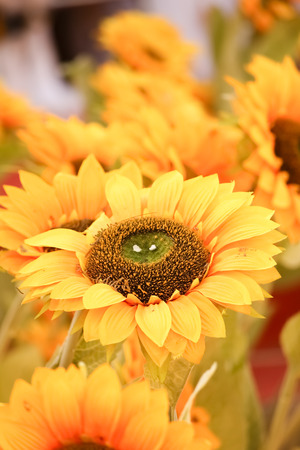 Close-up of beautiful sunflower in the field, natural background