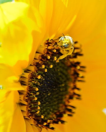Honey bee covered in pollen on sunflower