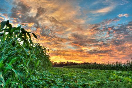 corn rows: Pumpkin patch spread between rows of corn. Stock Photo