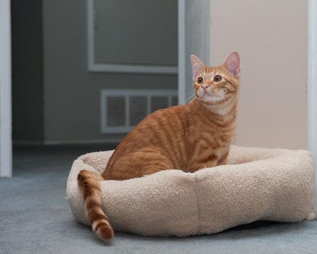 observant: Observant Tabby cat sitting inside his cat bed.