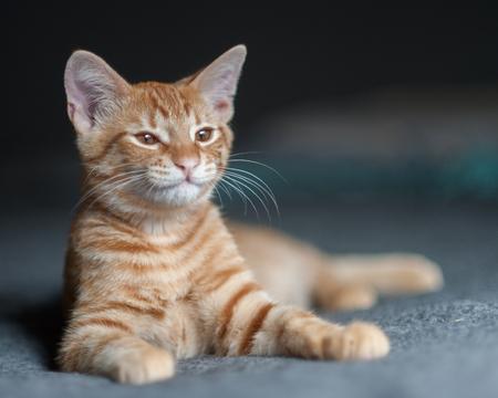 drowsy: Drowsy Tabby kitten ready for a nap