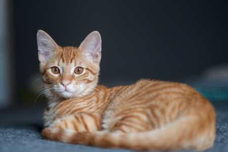 looking ahead: Tabby kitten lying comfortably while looking ahead Stock Photo