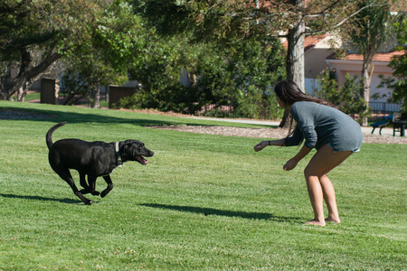Labrador dog running to his favorite teenager.