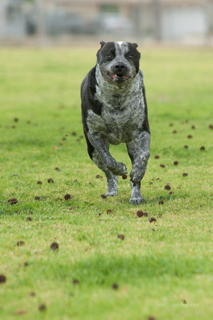 herding dog: Herding dog running at full speed.