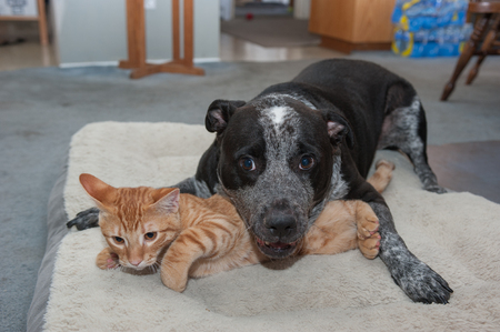 playmates: Atigrado gatito sintiendo el peso del perro grande lúdico Foto de archivo