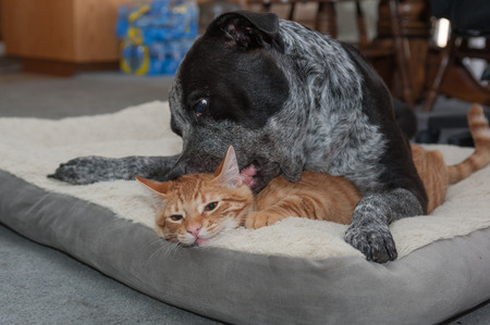 playmates: Tabby kitten enduring the playful big dog Stock Photo