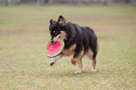 retrieving: Enthusiastic Australian Shepard dog retrieving frisbee. Stock Photo