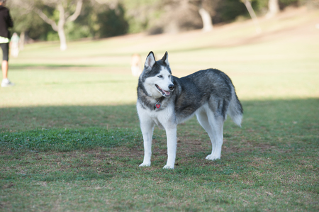 Siberian Husky looking to the right.