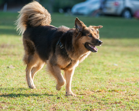 shepard: German Shepard mixed breed dog trotting with enthusiasm Stock Photo