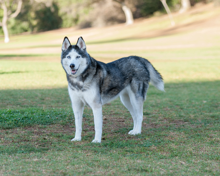 husky: Siberian Husky stands alert at the park.