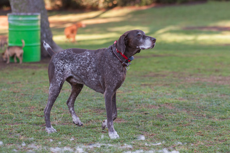 instincts: Pyrenees French Pointing dog looking across the park. Stock Photo