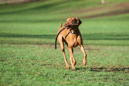 vizsla: Vizsla dog running with a stick at the park.