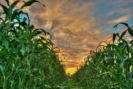 corn rows: Sunrise peeking through the rows of corn Stock Photo