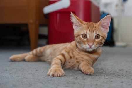 looking ahead: Alert Tabby kitten lying on floor looking ahead. Stock Photo