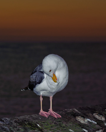 Self grooming habits of the seagull.