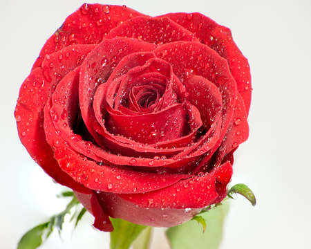 moist: Top macro view of moist red rose. Stock Photo