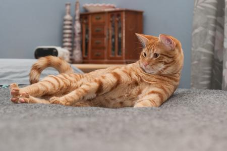 woken: Annoyed Tabby cat stretching his legs.