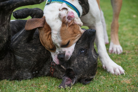 dominance: Close up of playful dogs wrestling at the park.