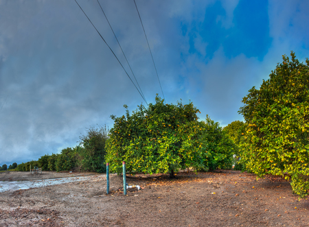 Muddy ground and cloudy skies on lemon orchard.