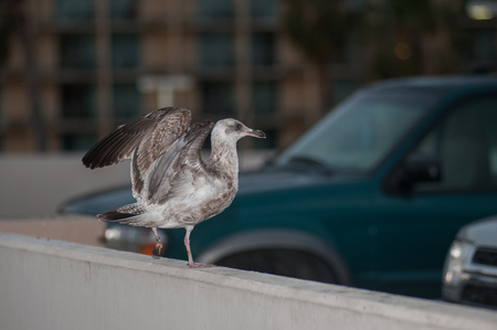 Grey seagull landing in the parking lot Stock Photo