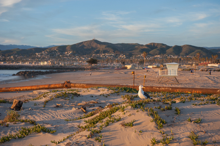 marine bird: Marine bird perched atop a Ventura beach sand dune.
