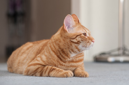 pal: Striped Tabby cat reclined and showing right profile. Stock Photo