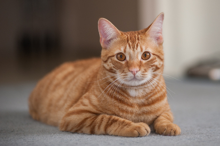 pal: Striped cat reclined with legs tucks while looking forward.