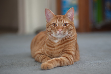 pal: Striped Tabby cat looking forward with one leg sticking out.