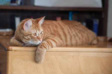facing right: Striped Tabby cat on wood grain with body facing left while looking right.