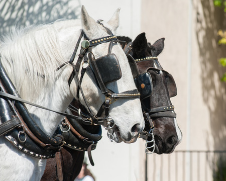 blinders: Black and white horse team with blinders. Stock Photo
